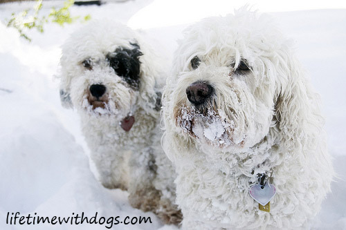 snowdogs_princess_oliver_2013_lifetimewithdogs