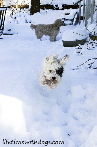 snow_dogs_oliver_2013_lifetimewithdogs