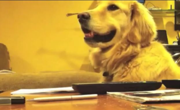 golden_retriever_loves_guitar