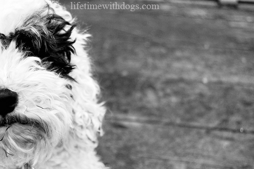 how_to_photograph_your_dog_oliver_black_white_lifetimewithdogs