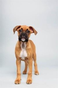 August (Boxer)