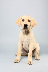 Benton (Labrador Retriever)