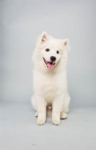 Brody (American Eskimo Dog)