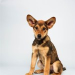 Cici (German Shepherd Mix)