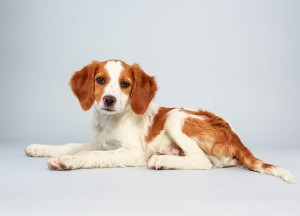 Laney (Brittany Spaniel Mix)
