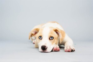 Parker (Labrador Retriever / Husky Mix)