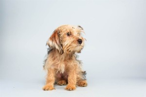Sparky (Yorkshire Terrier)