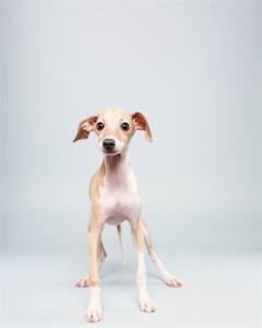 Taser (Italian Greyhound)
