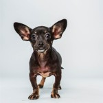 Ullie (Chihuahua / Dachshund Mix)