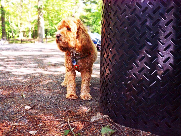 Lily_cockapoo_Ridgewood_Dog_Park_Ridgewood_NJ