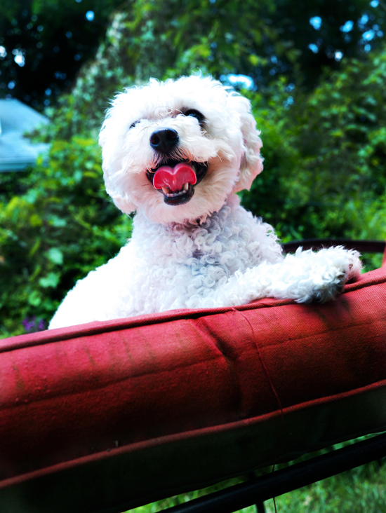 muppet_toy_poodle_dog_