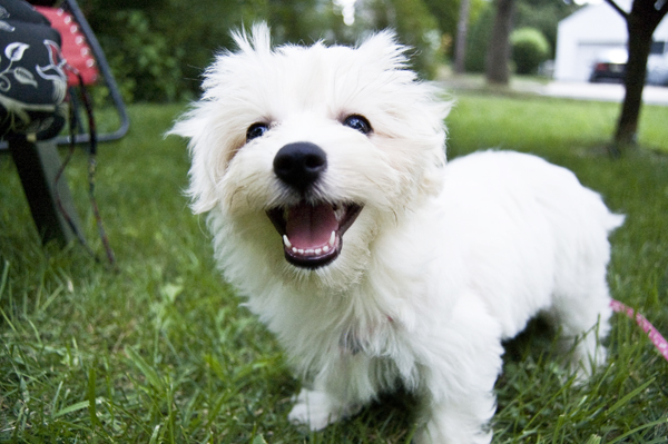 Daisy_bichon_frise_my_first_puppy_lifetimewithdogs
