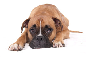 dog-boxer-separation-anxiety-lifetimewithdogs